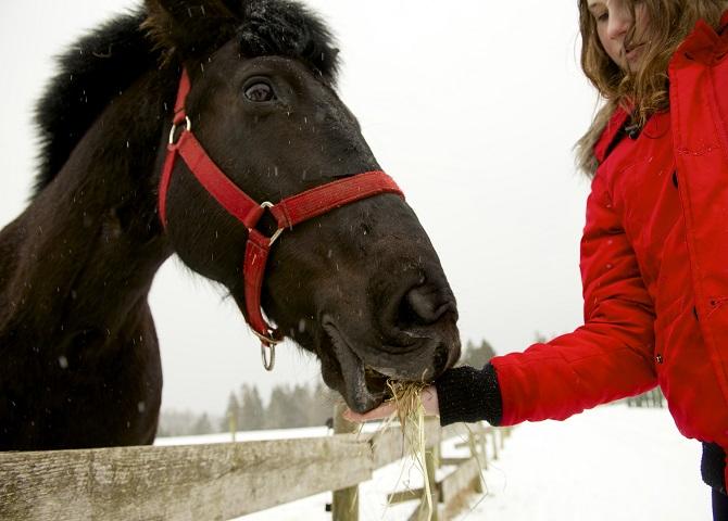 Jeune fille nourrissant un cheval, guide touristique sport d'hiver, Nouvelle-Écosse