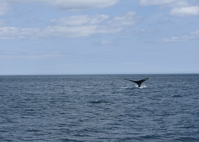 whale watching, Newfoundland