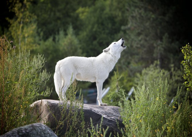 A howling wolf in Algonquin Park