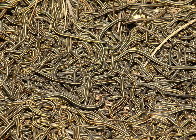 The Narcisse Snake Dens