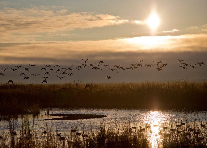 Oies canadiennes au-dessus du marais Oak Hammock, Manitoba