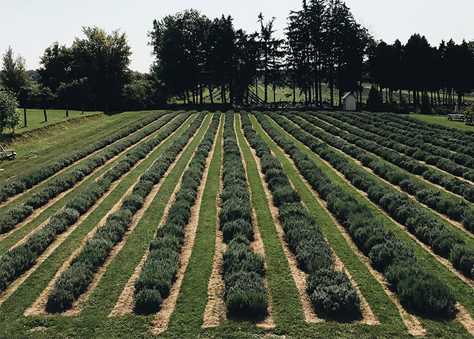 The fields at Maison Lavande still smell great even during the low season (© Maison Lavande)