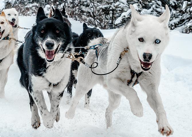 Snowy Owl Sled Dog Tours prend grand soin de ses chiens, de façon éthique et responsable.